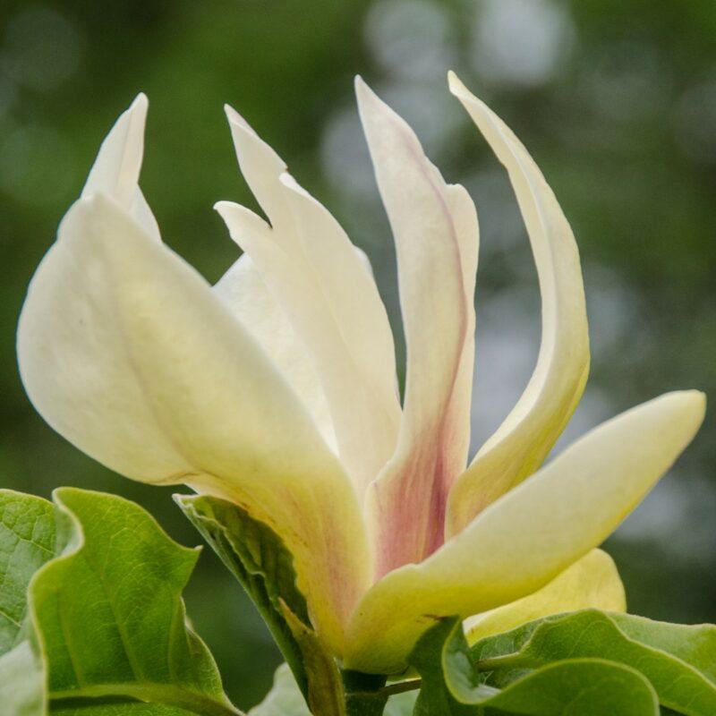 Magnolia 'Sunsation' (Yellow)