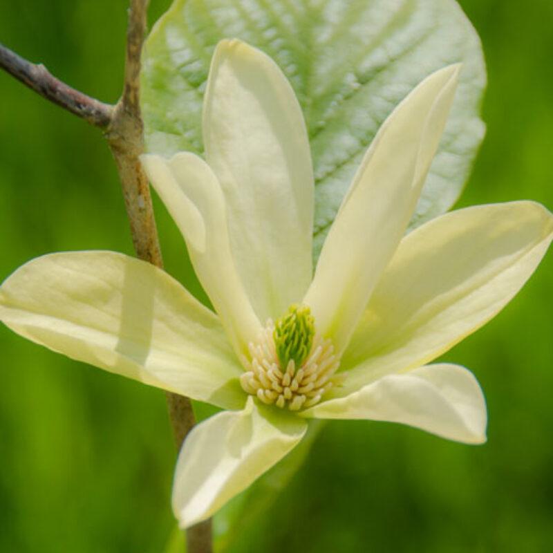 Magnolia 'Tranquility' (White)