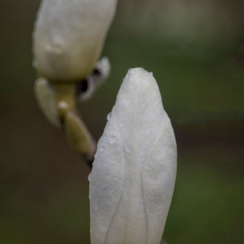 Magnolia x soulangeana 'Lennei Alba' (Rose White)