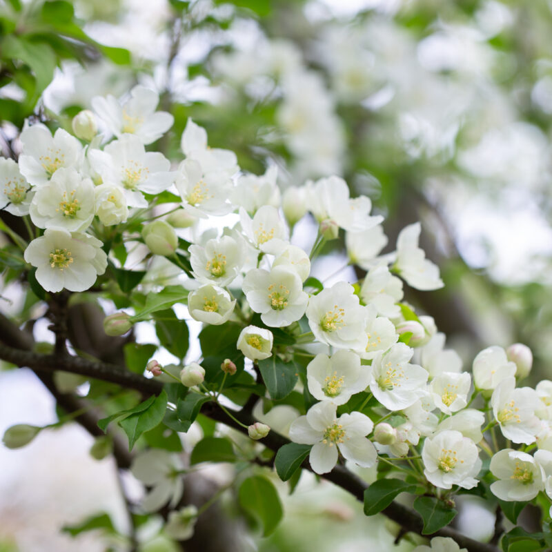 Malus brevipes 'WEDDING BOUQUET'