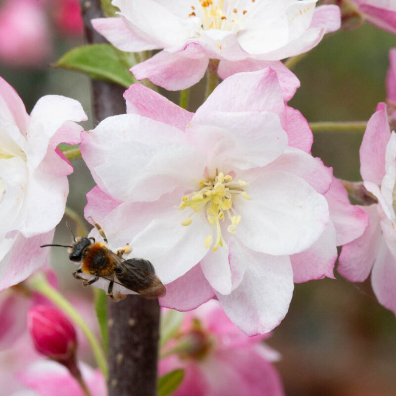 Malus 'Pink Perfection'