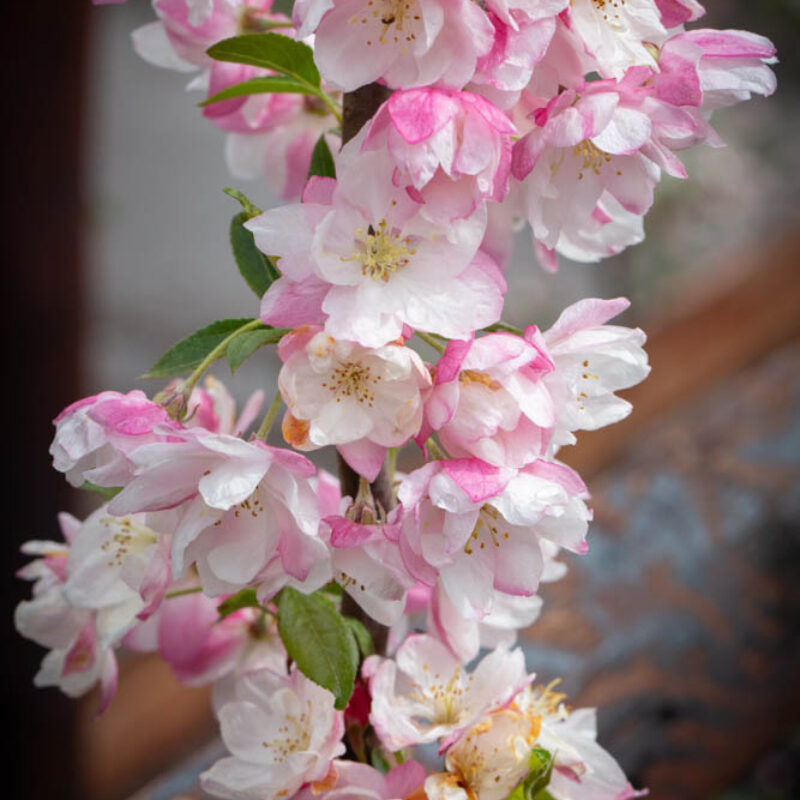 Malus 'Pink Perfection' 2