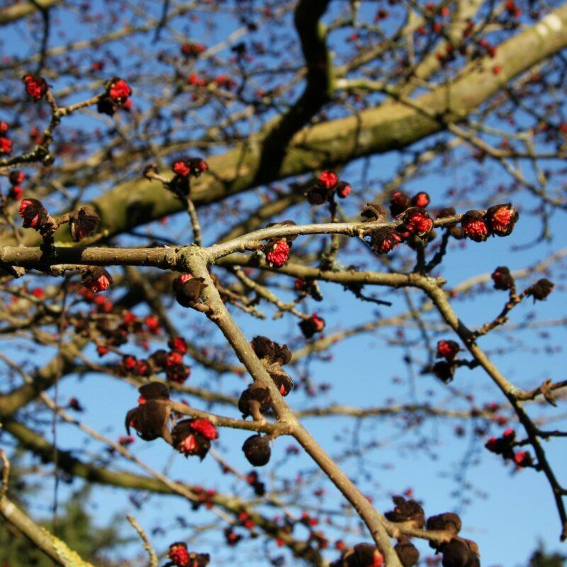 Parrotia persica 2
