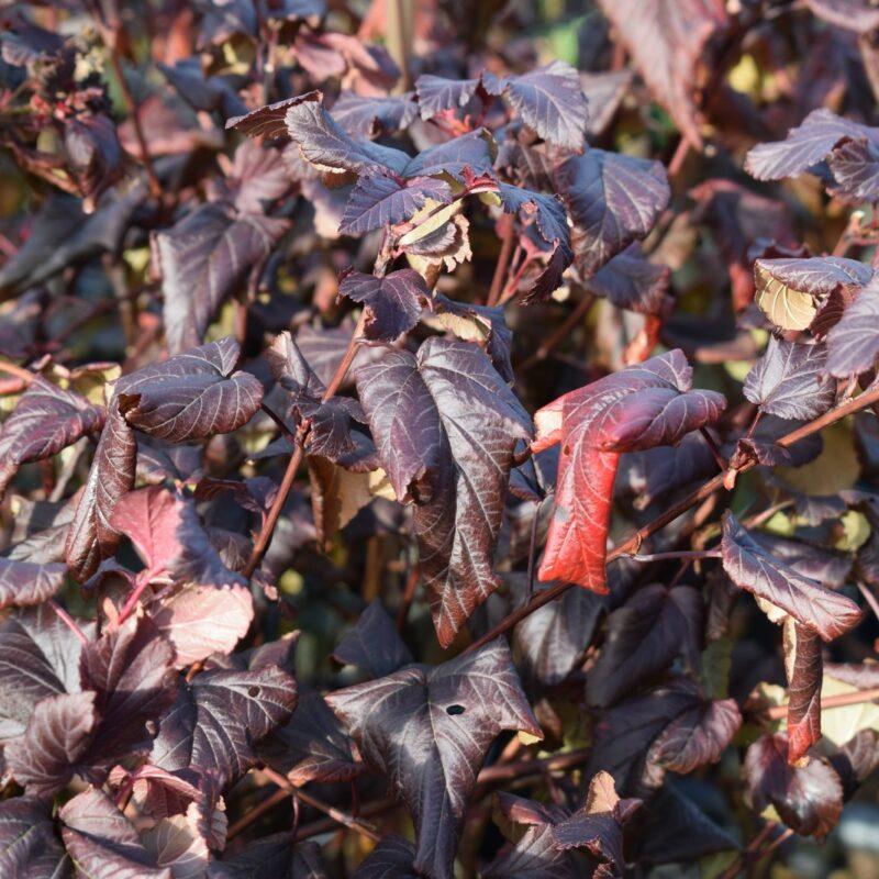Physocarpus opulifolius LADY IN RED ('Tuilad')