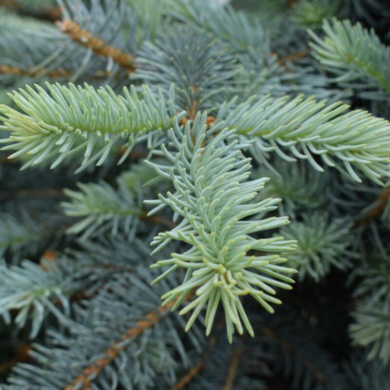Picea pungens 'Erich Frahm'