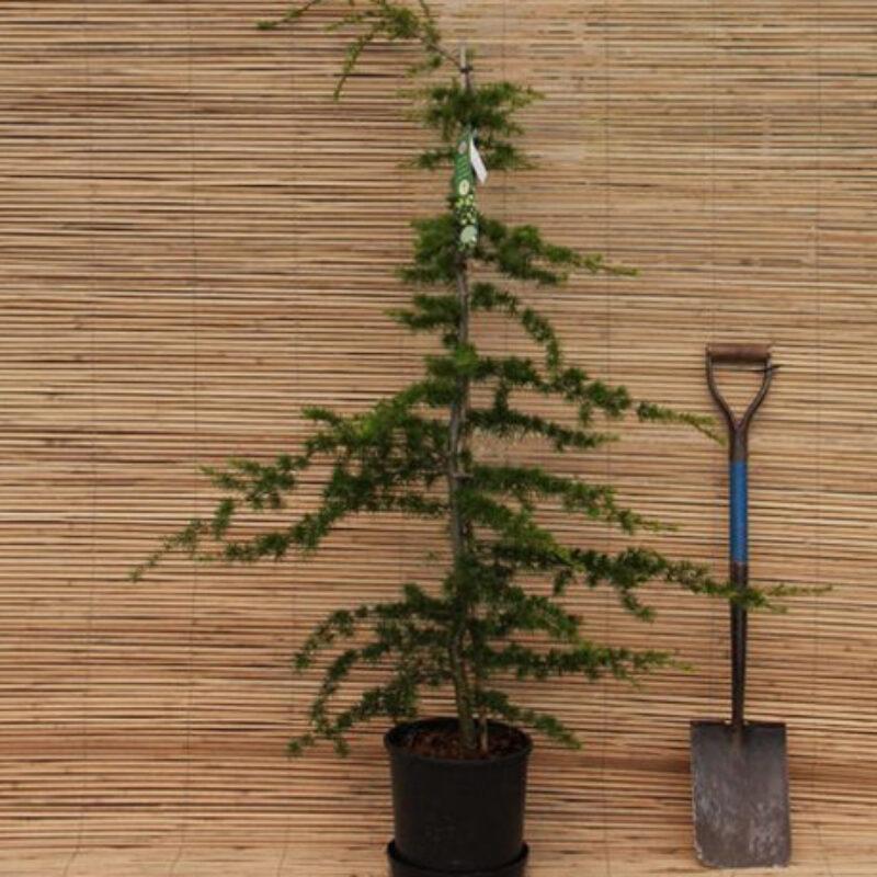 Pinus nigra 'Black Prince'
