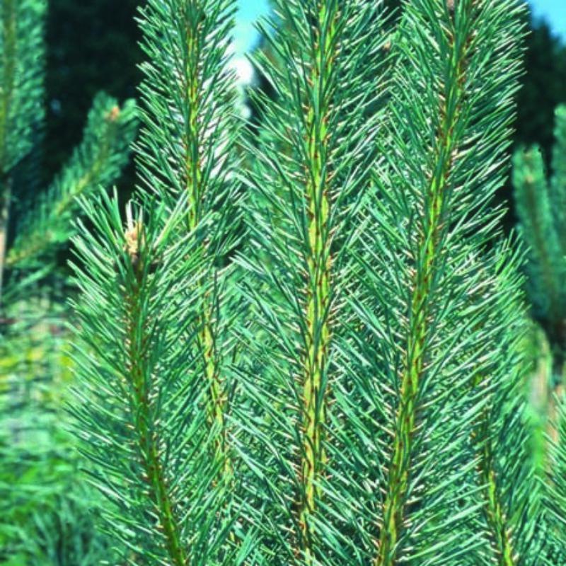 Pinus sylvestris 'Edwin Hillier'
