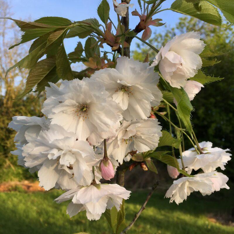 Prunus BLUSHING BRIDE ('Shogetsu')