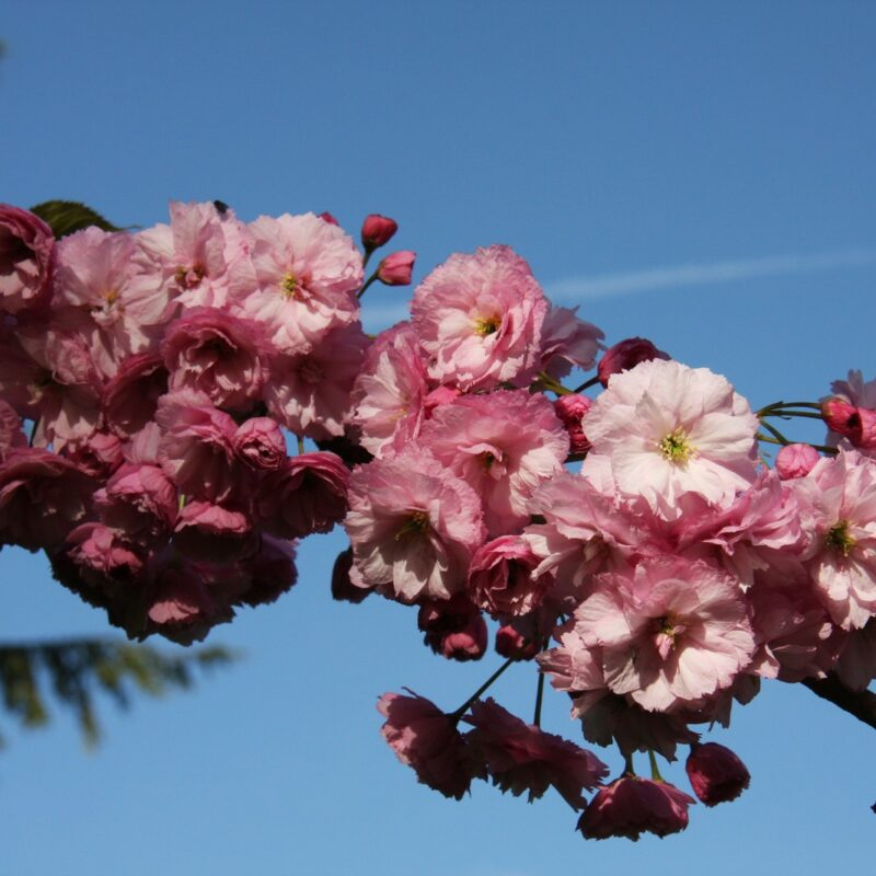 Prunus CANDY FLOSS ('Matsumae-beni-murasakii')