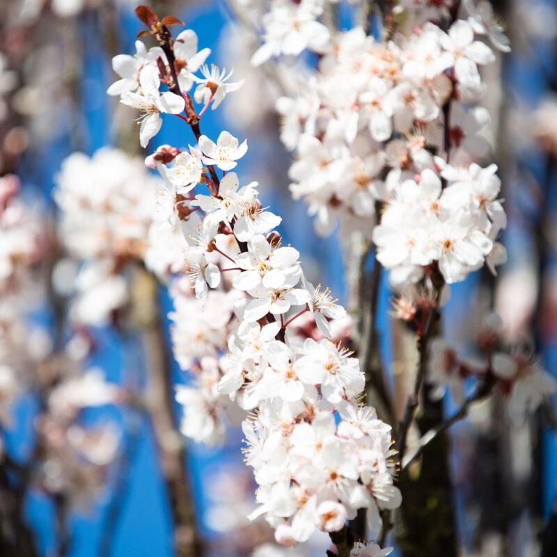 Prunus cerasifera 'Crimson Pointe'®