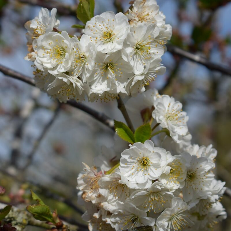 Prunus cerasus 'Rhexii'