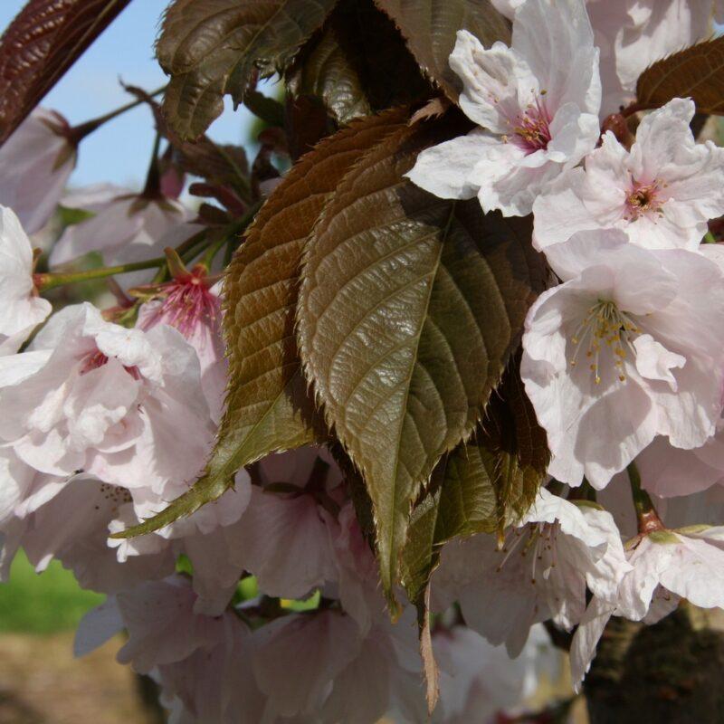 Prunus CHOCOLATE ICE ('Matsumae-fuki')