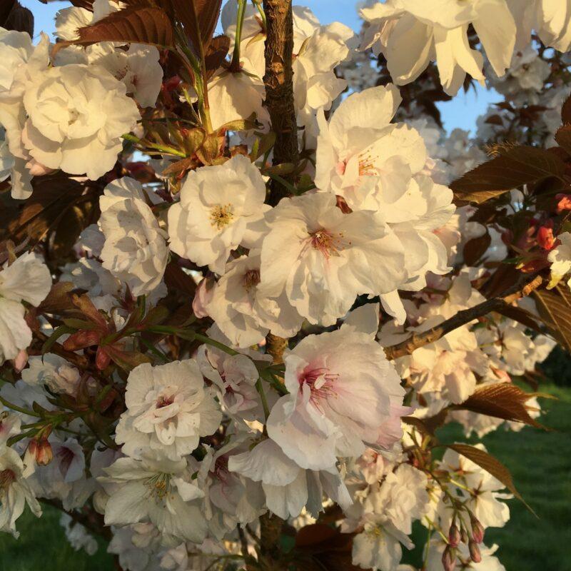 Prunus FRAGRANT CLOUD ('Shizuka')