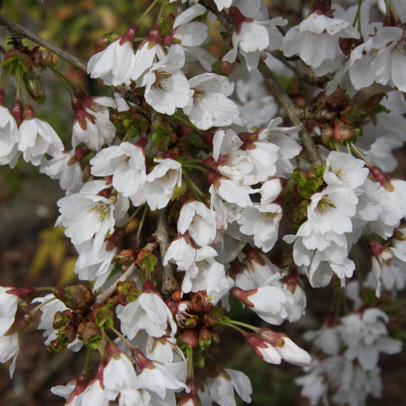 Prunus 'Frilly Frock'™