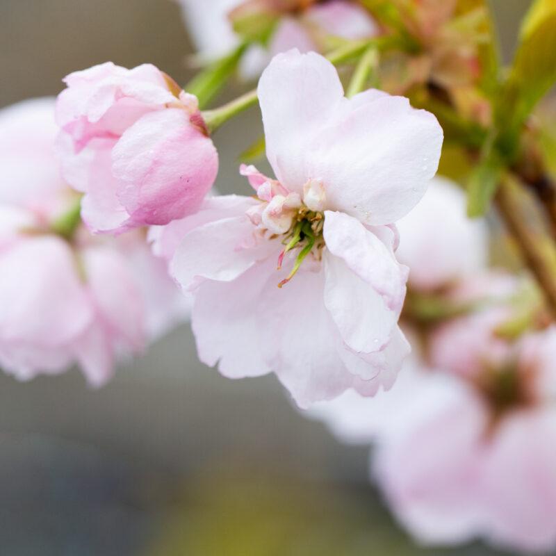 Prunus 'Ichiyo' (Pink Champagne)