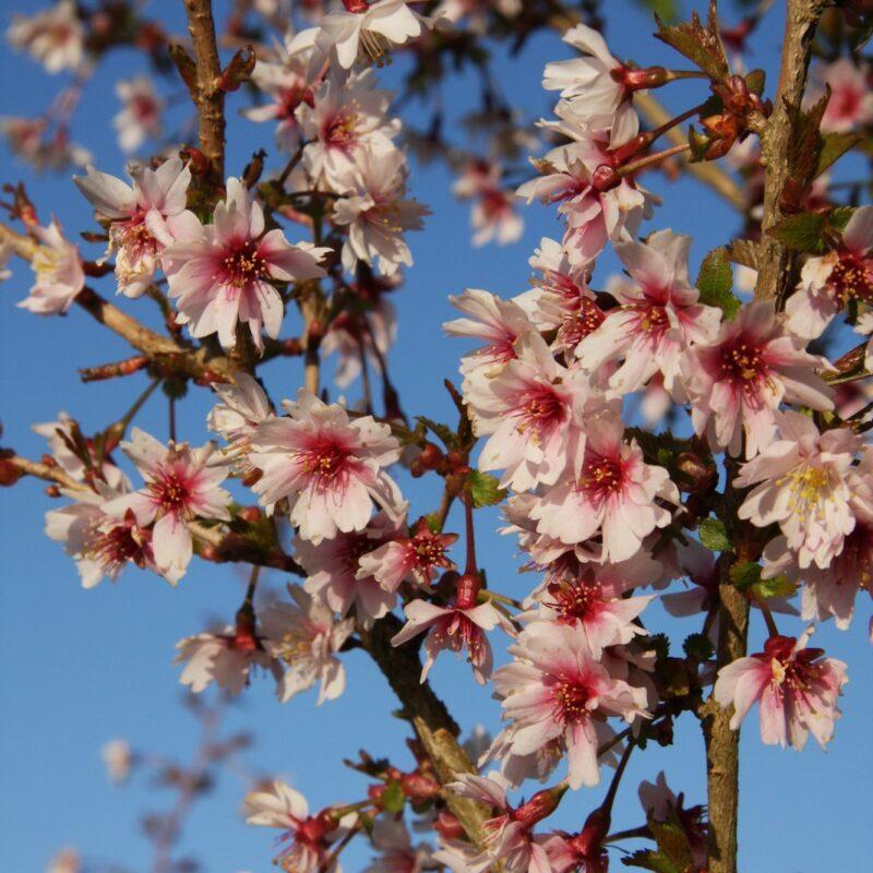 Prunus incisa 'Mikinori'