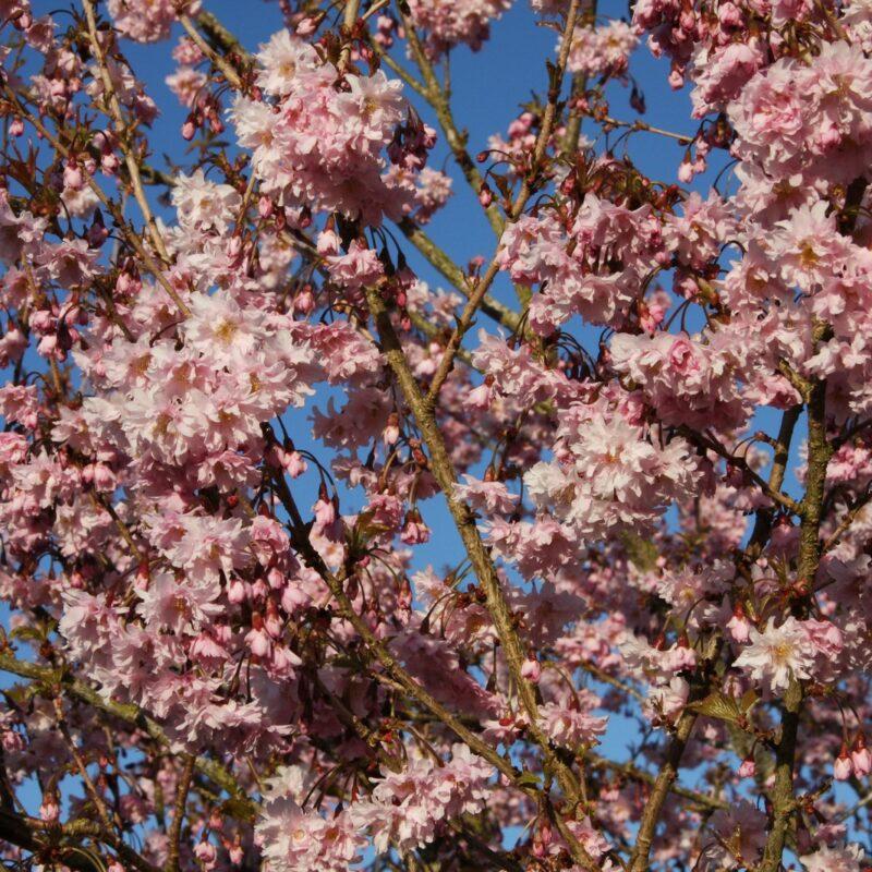 Prunus incisa 'Oshidori' PRINCESSE