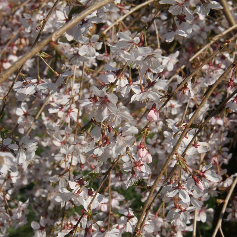 Prunus incisa 'Pendula'