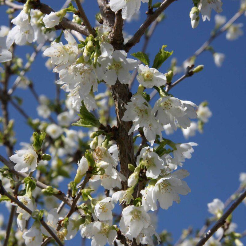 Prunus incisa 'Yamadei'