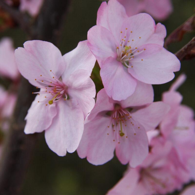 Prunus 'Jacqueline'