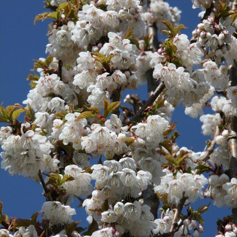 Prunus litigiosa (Tassel Cherry) 2