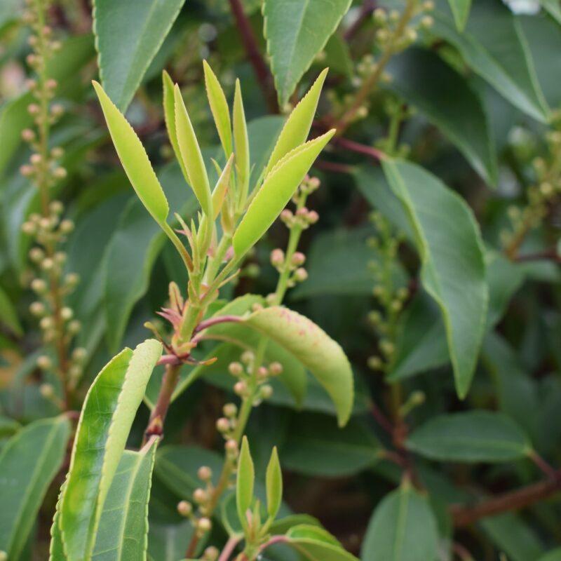 Prunus lusitanica 'Myrtifolia'