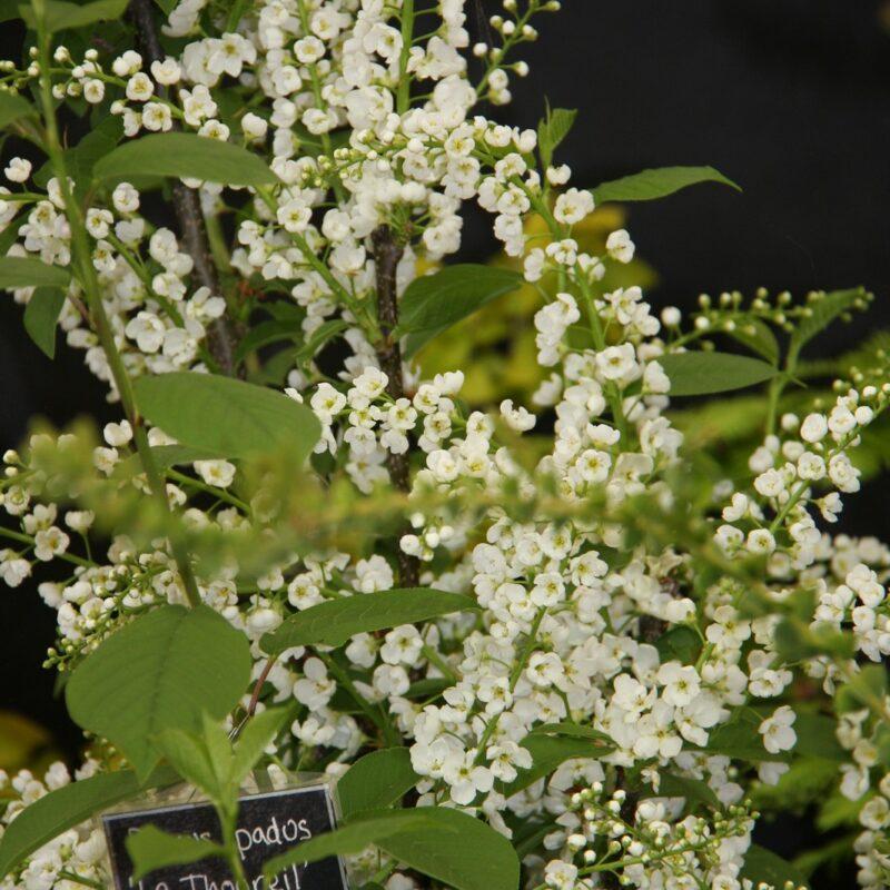 Prunus padus 'Le Thoureil'