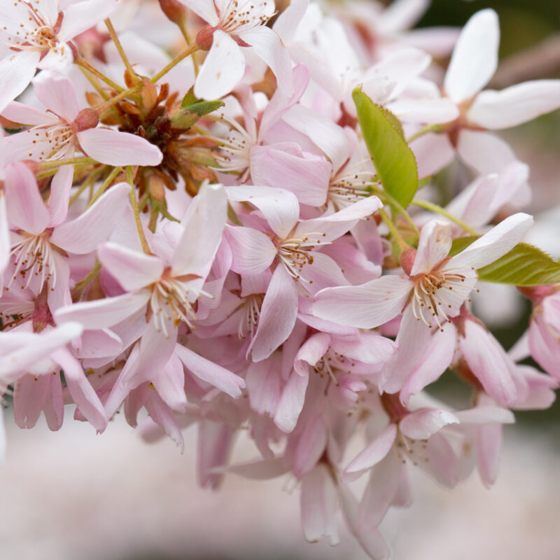 Prunus pendula 'Stellata'