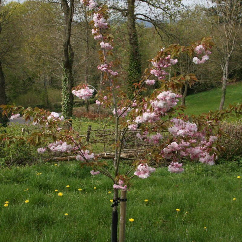 Prunus PINK PARASOL ('Hanagasa') 2