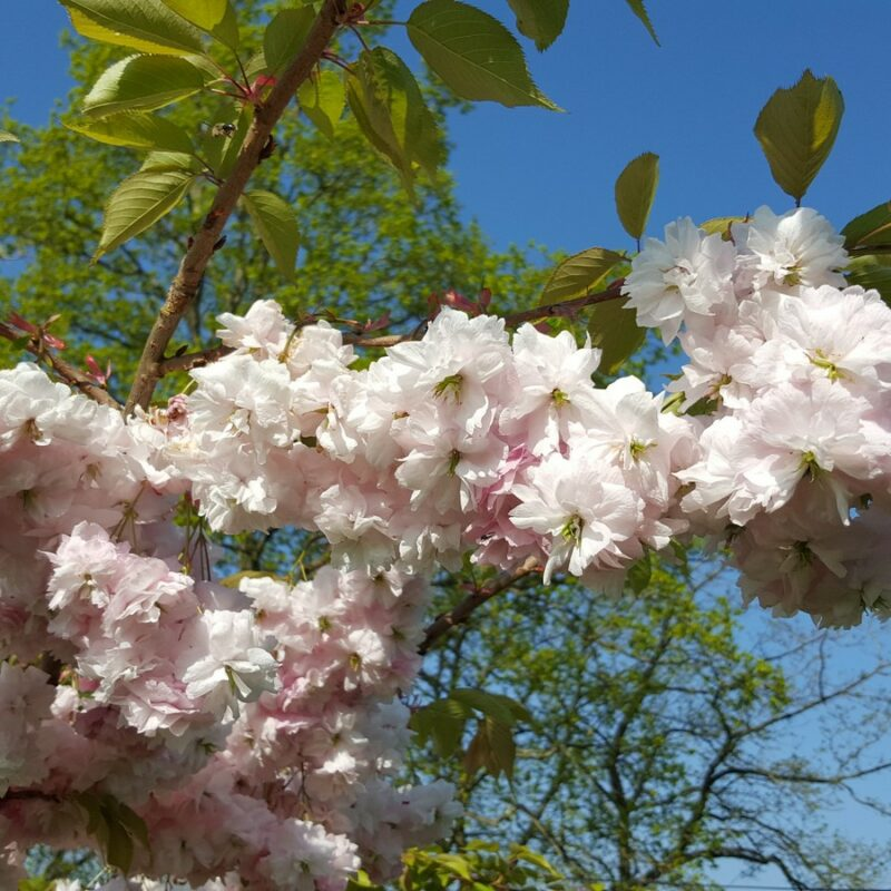 Prunus PINK PARASOL ('Hanagasa')