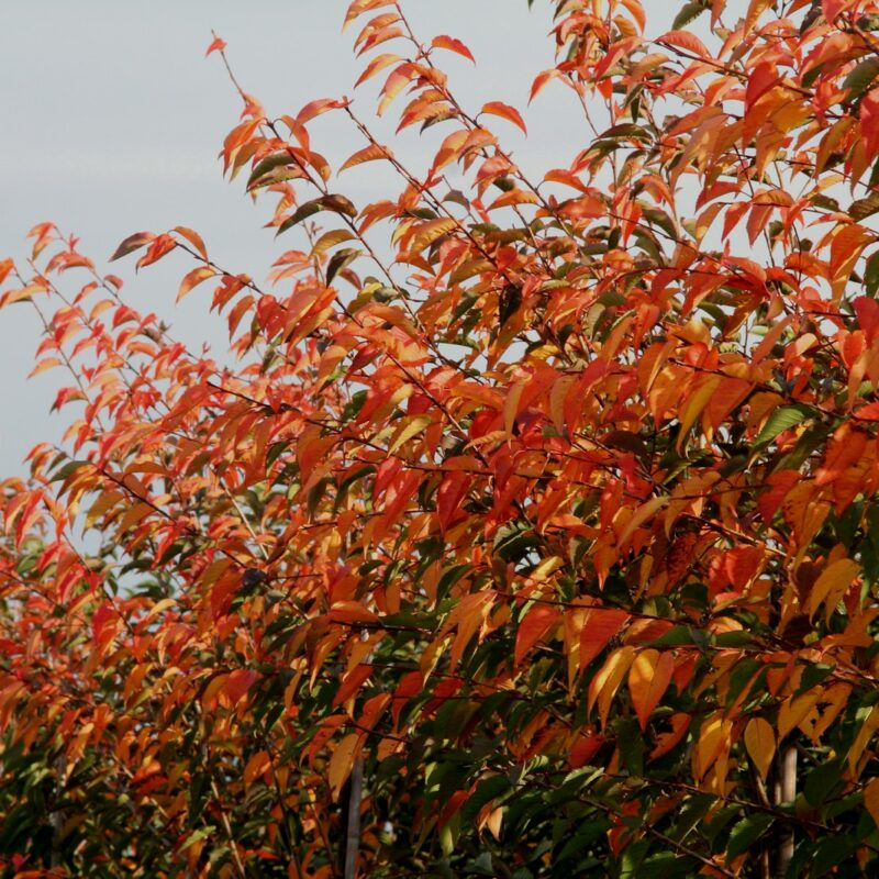 Prunus ROYAL FLAME ® ('Mieke') 2