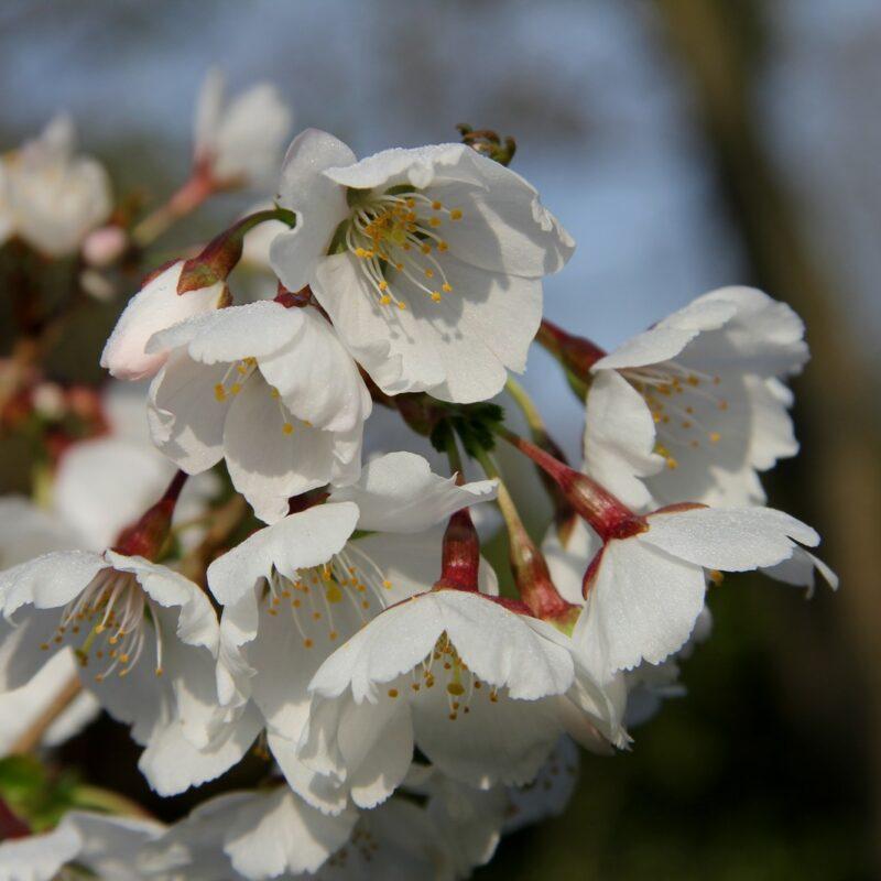 Prunus ROYAL FLAME ® ('Mieke') 3