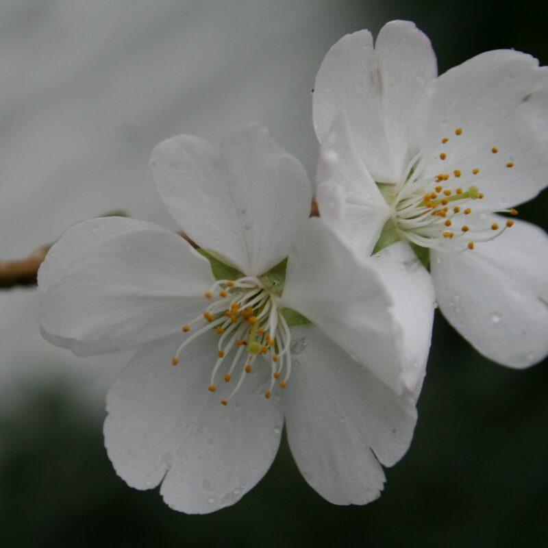 Prunus ROYAL FLAME ® ('Mieke')
