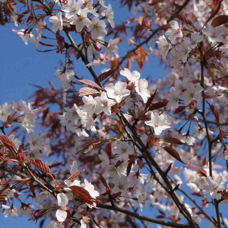 Prunus sargentii 'Charles Sargent'