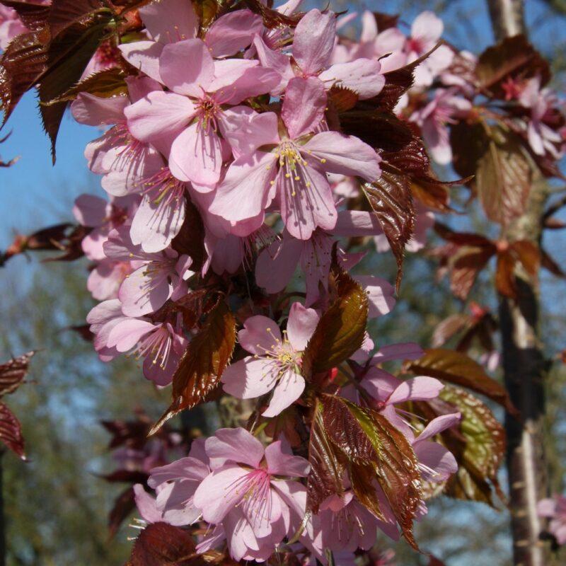 Prunus sargentii 'Charles Sargent' 1