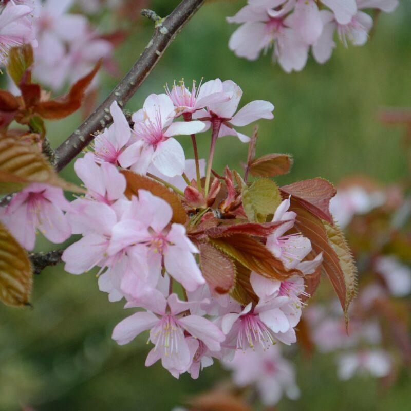 Prunus sargentii 'Columnaris'