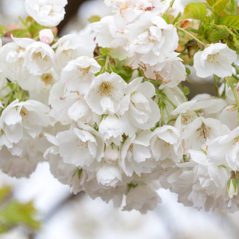 Prunus 'Shirotae' 1