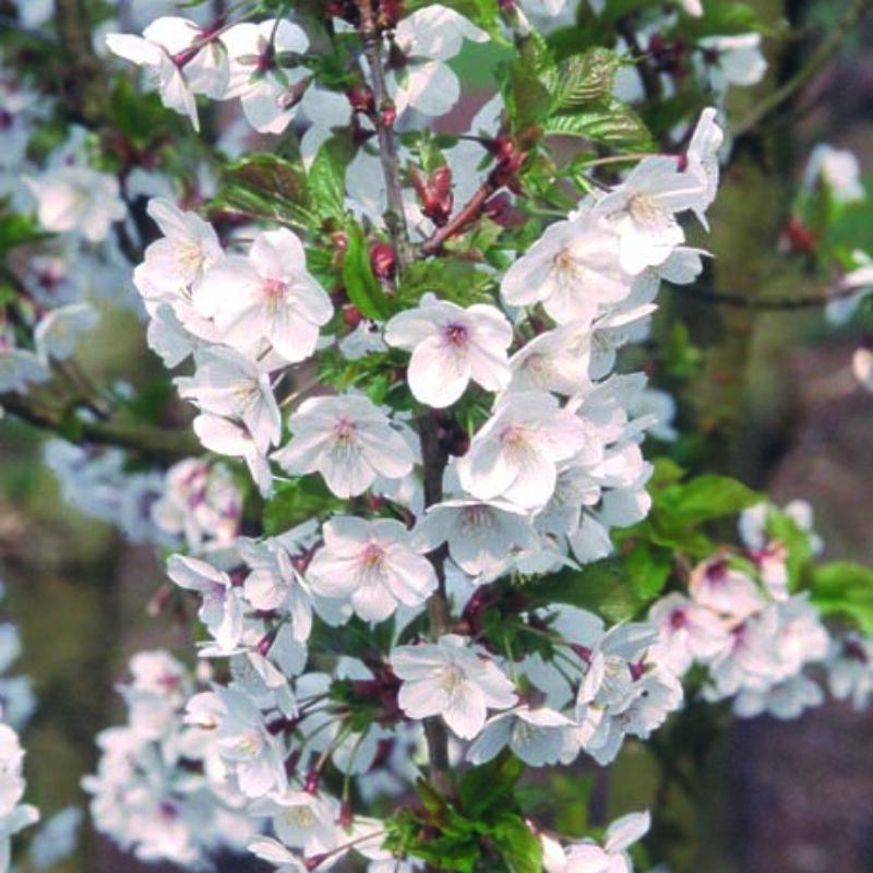 Prunus 'Snow Goose'