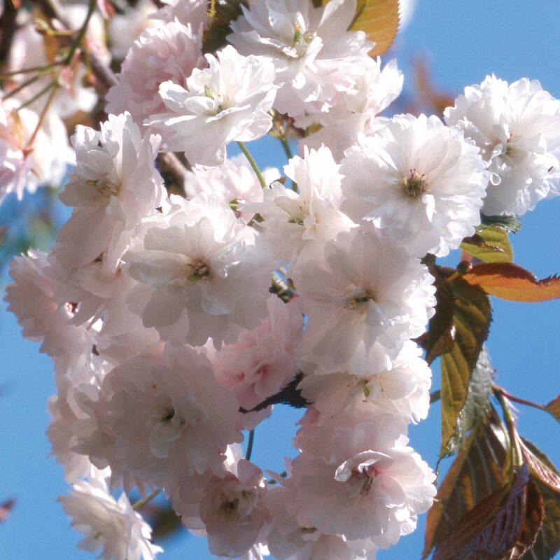 Prunus SPRING SNOW ('Beni-tamanishiki')