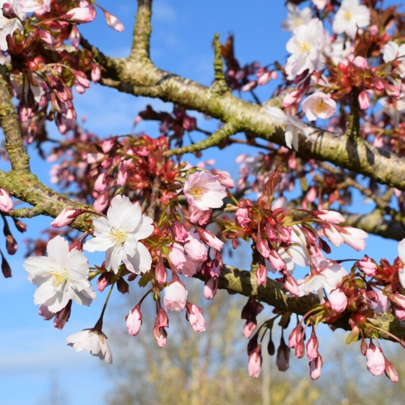 Prunus 'Taoyame'