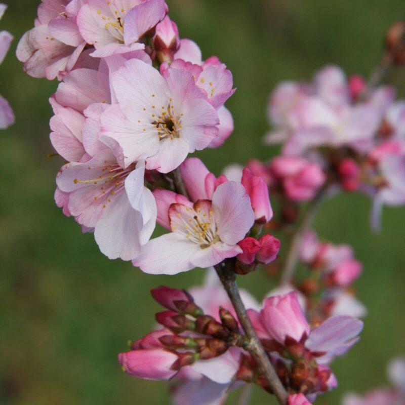 Prunus 'Tiltstone Hellfire'