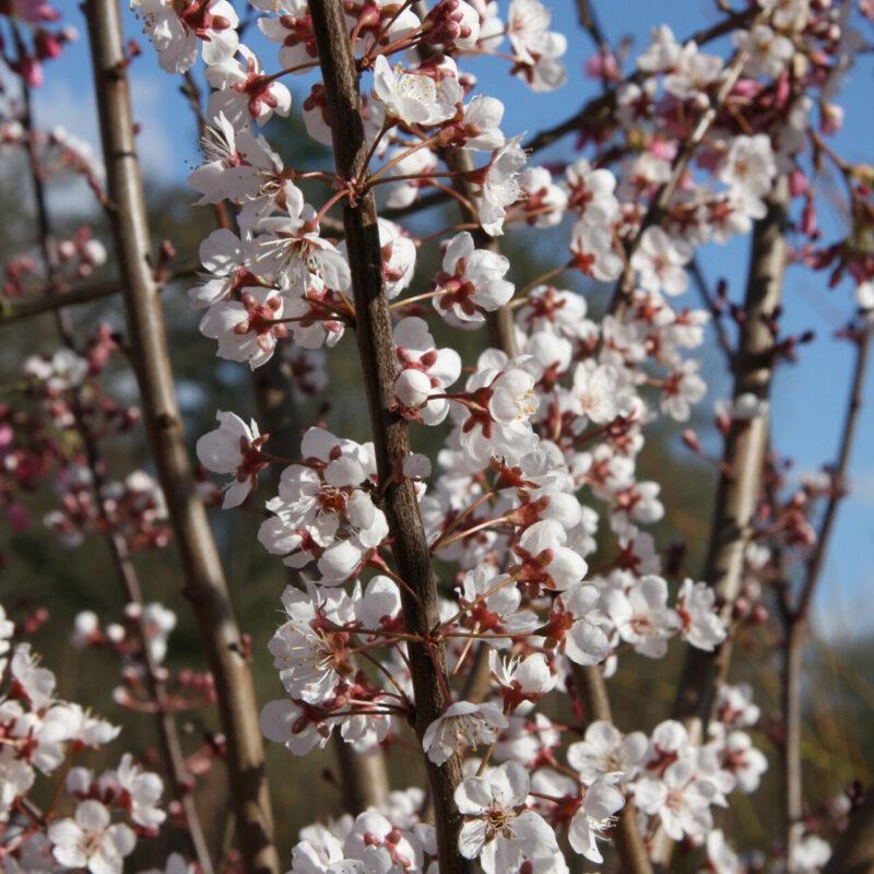 Prunus 'Trailblazer'