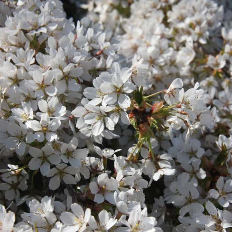 Prunus Weeping Yoshino