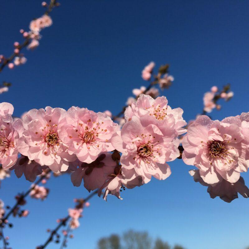 Prunus x blireana 2