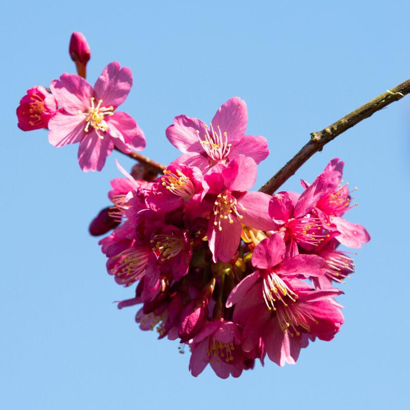 Prunus x persicoides 'Spring Glow'