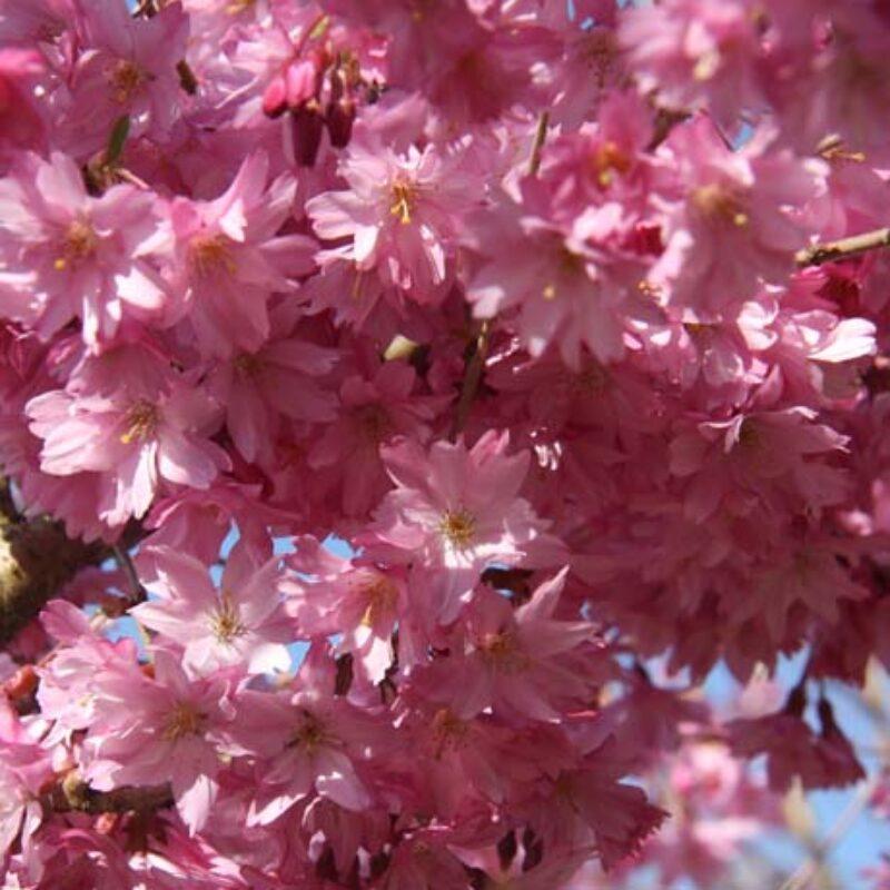 Prunus x subhirtella 'Fukabana'