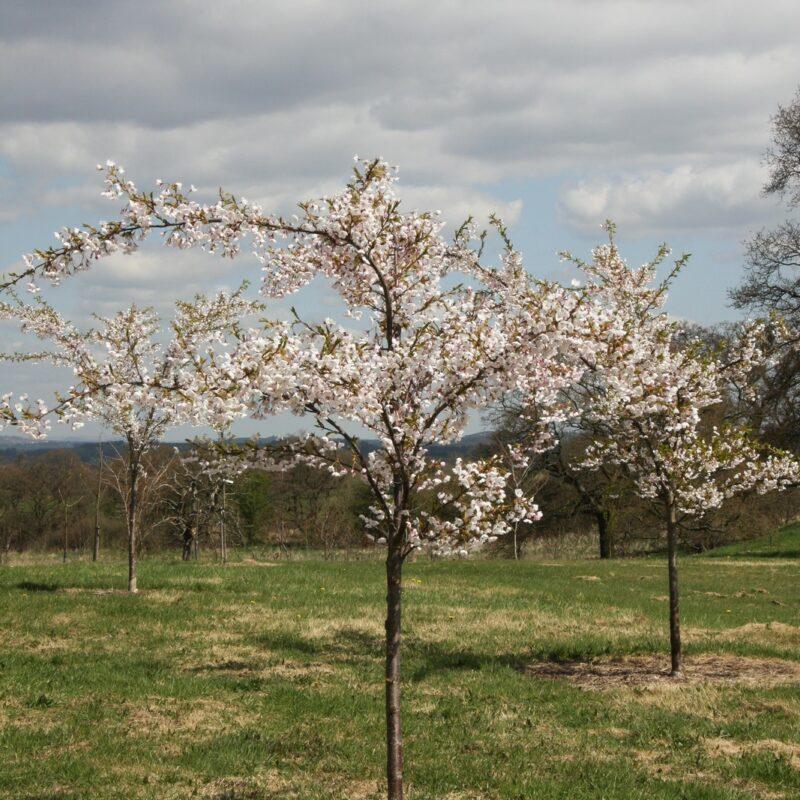 Prunus x yedoensis 3
