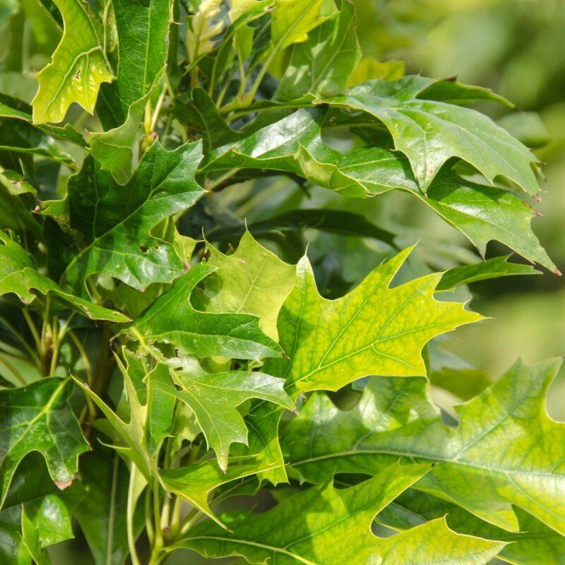Quercus palutris GREEN PILLAR ('Pringreen')