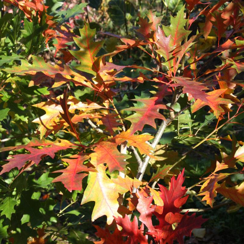 Quercus x warei REGAL PRINCE ('Long')