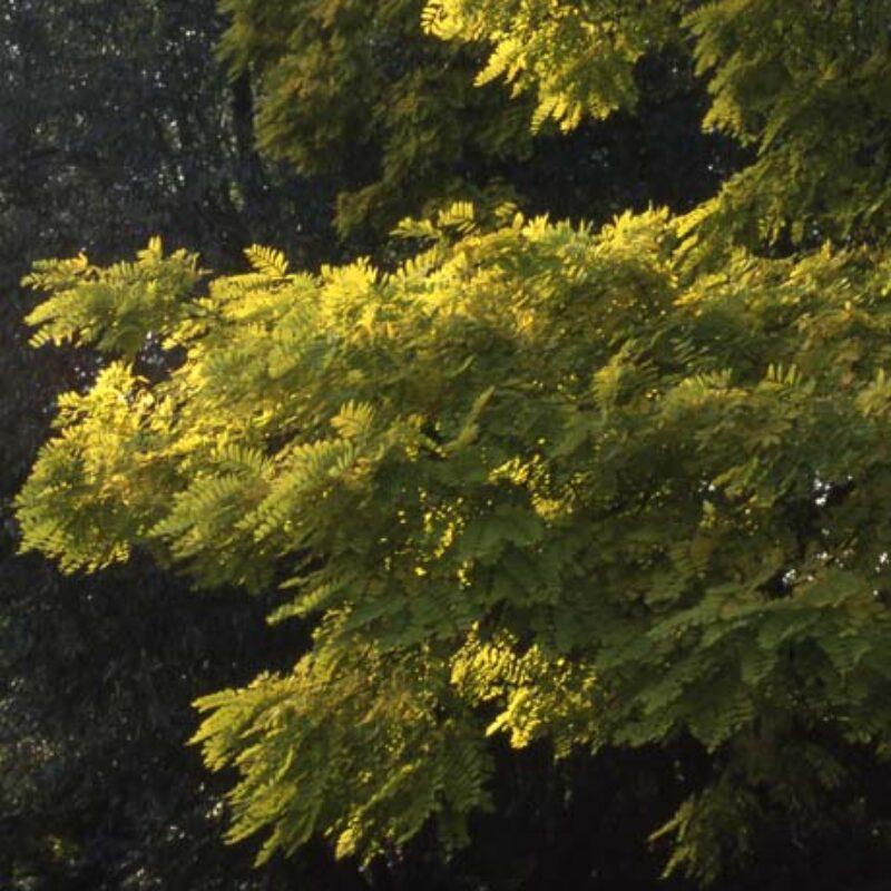 Robinia pseudoacacia 'Frisia' 2
